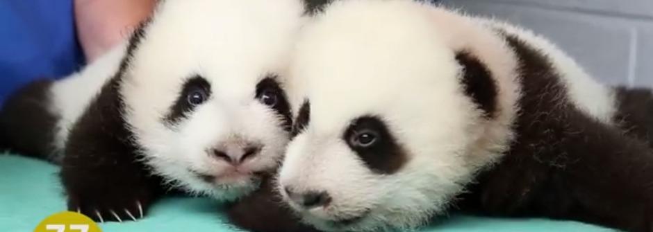 感動推薦!熊貓寶寶的100天全紀錄