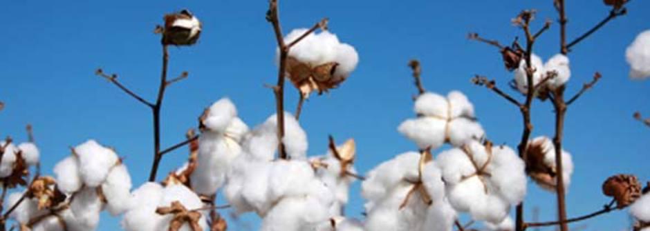 什麼是有機棉 organic cotton