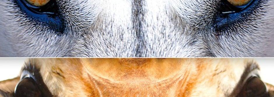 狼的溝通,長頸鹿的溝通