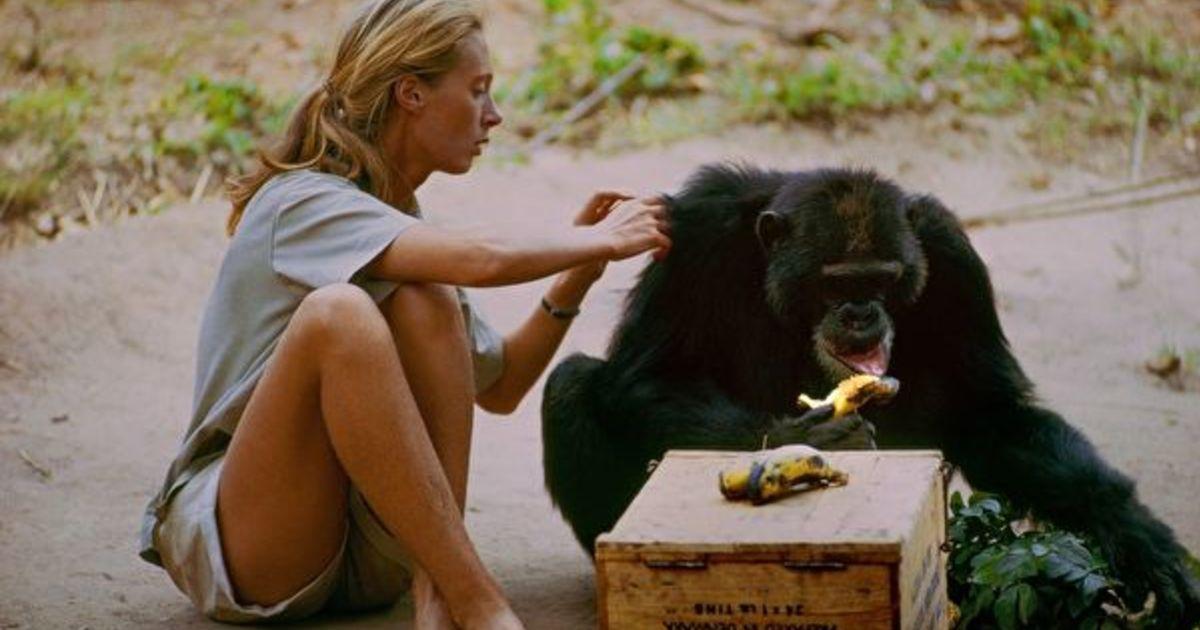 曾被導師騷擾,黑猩猩專家珍・古德:我拒絕他,而他選擇尊重我