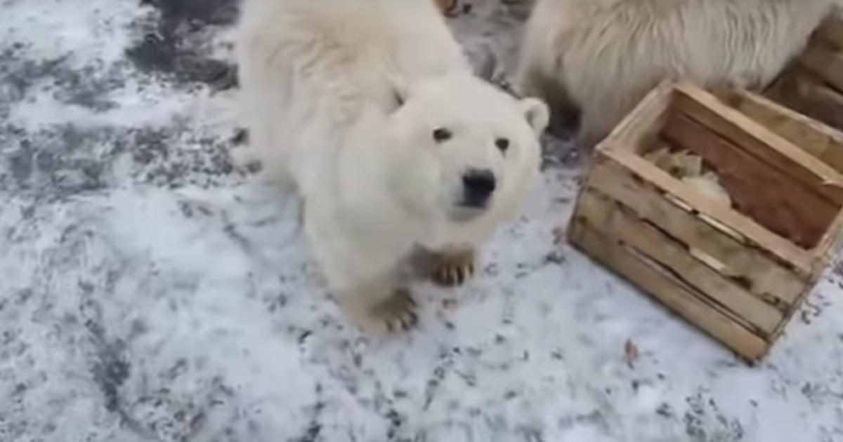 全球暖化危機,50 隻北極熊被迫闖入俄國居民住所