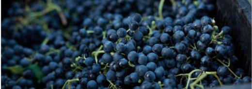 吃葡萄別吐葡萄皮!紫色葡萄的三個營養重點
