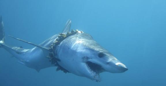 你的每句「方便」,都在殺死鯊魚:1,000 鯊遭塑膠垃圾纏繞