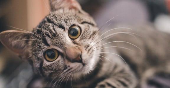 「我家的貓都不理我」貓其實能聽懂你說話,但牠是真的不在意