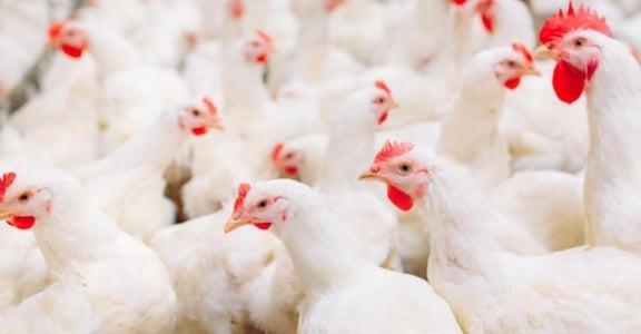 因為健身,你也在加強攝取蛋白質嗎?3 秘訣教你挑出 Q 彈好吃的優質雞肉