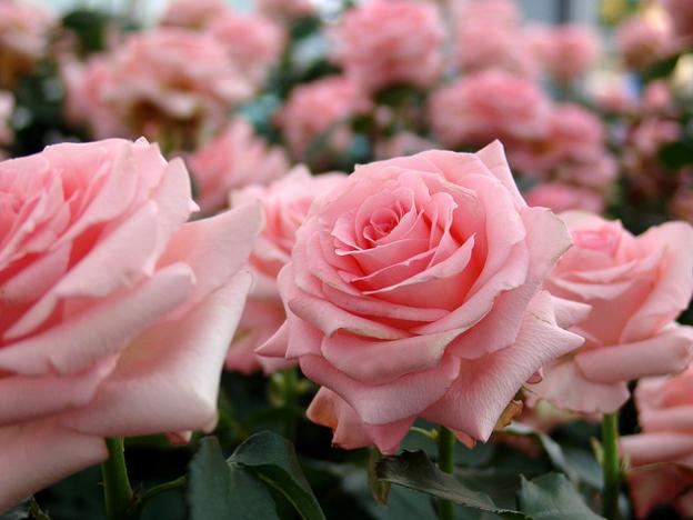 Rose Noblesse バラ ノブレス