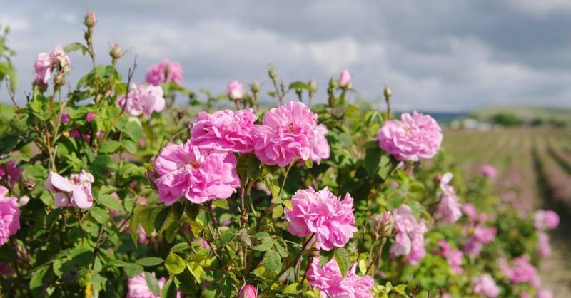 5. 玫瑰:促進循環、減少心悸