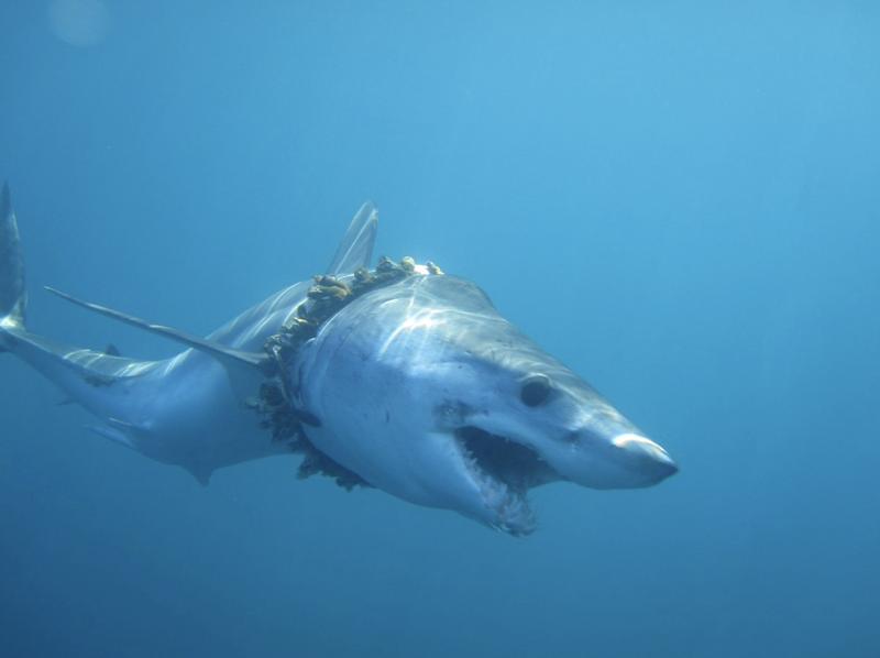 一條尖吻鯖鯊被廢棄漁網繩圈著身軀,繩上都長著藤壺而且勒傷其皮膚與脊椎,顯示該鯊被纏後一直生長。Credit: Daniel Cartamil