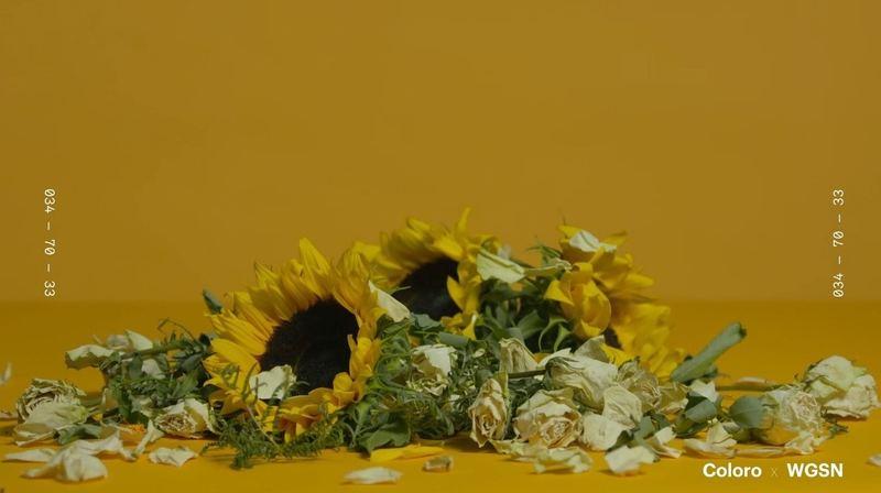 古典黃跟近年非常流行的芥末黃、泥土黃等都非常相似,但是再更沉色。(WGSNxColoro)